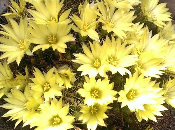 Wall Art - Photograph - Yellow Cactus Flowers by Nick Blake