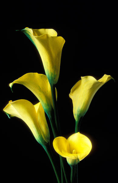 Calla Lilies Photograph - Yellow Calla Lilies  by Garry Gay