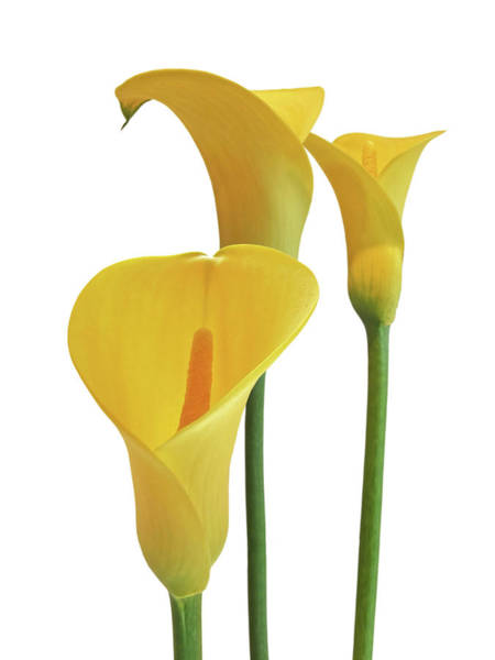 Photograph - Yellow Calla Lilies On White by Gill Billington