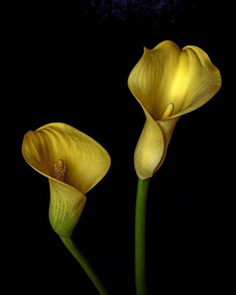 Photograph - Yellow Callas by Wes and Dotty Weber
