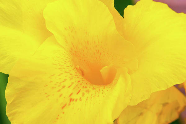 Photograph - Yellow Canna Flower Bloom by SR Green