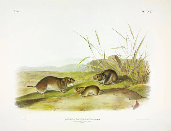 Ferrets Wall Art - Painting - Yellow-cheeked Meadow-mouse by John James Audubon