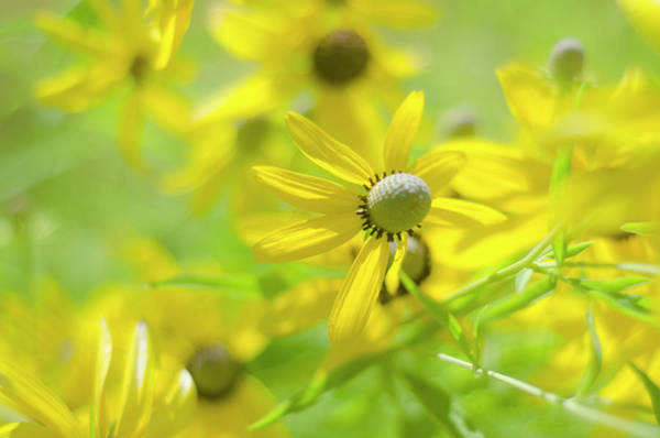 Photograph - Yellow Cone Flowers by Rick Mosher