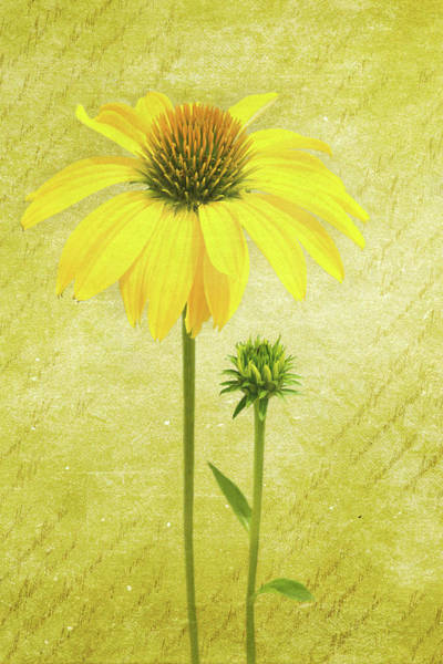 Wall Art - Photograph - Yellow Coneflower 3 by Kevin O'Hare