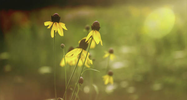 Photograph - Yellow Coneflowers by Dan Sproul