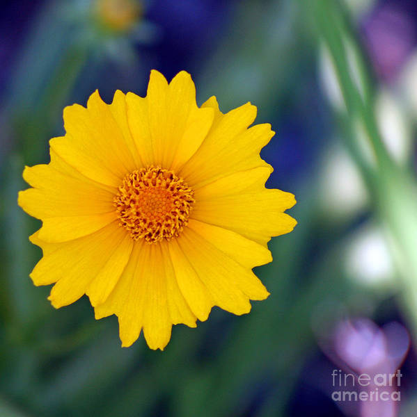 Photograph - Yellow Coreopsis Square by Karen Adams