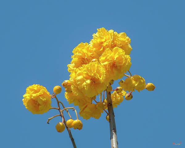 Photograph - Yellow Cotton Tree Dthn0229 by Gerry Gantt