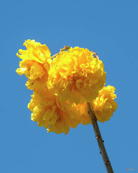 Photograph - Yellow Cotton Tree Dthn0234 by Gerry Gantt