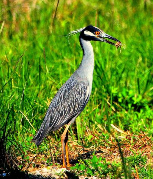 Photograph - Yellow Crested Night Heron Catches A Fiddler Crab by Barbara Bowen