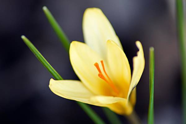 Photograph - Yellow Crocus by Larry Ricker