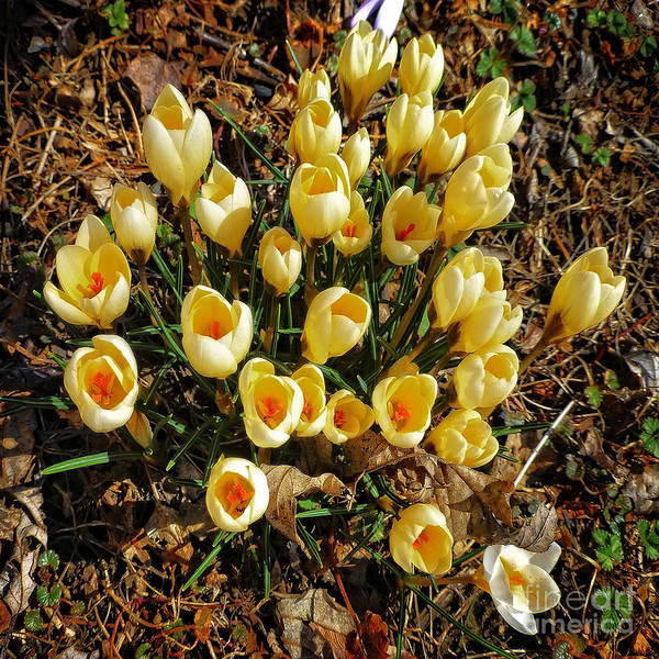 Photograph - Yellow Crocuses by Dee Flouton