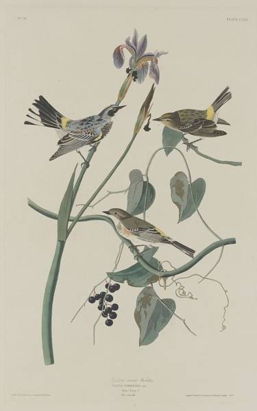 Wall Art - Drawing - Yellow-crown Warbler by Dreyer Wildlife Print Collections