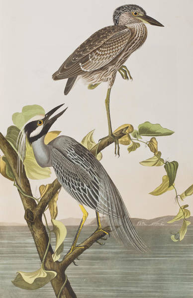 Audubon Painting - Yellow Crowned Heron by John James Audubon