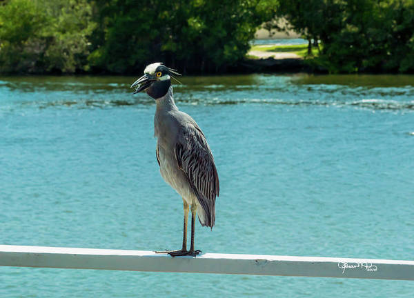 Photograph - Yellow Crowned Night Heron 2 Of 2 by Susan Molnar