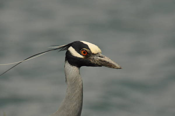 Photograph - Yellow-crowned Night Heron by Frank Madia