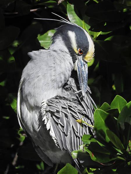 Photograph - Yellow-crowned Night-heron In Mangrove 2 by Bob Slitzan
