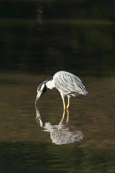 Photograph - Yellow Crowned Night Heron Kiss The Water #1 by Paul Rebmann