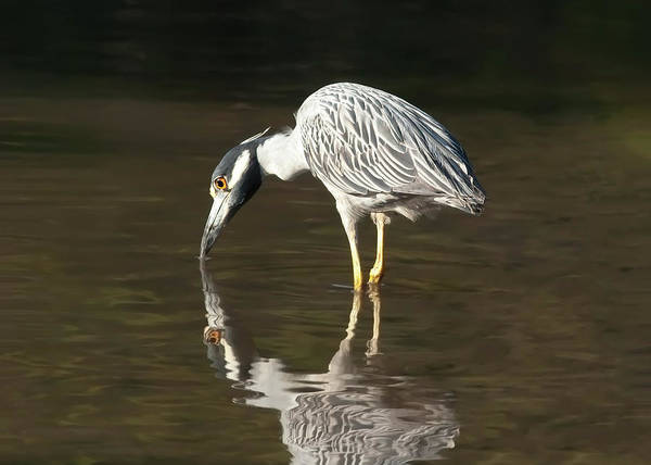 Photograph - Yellow Crowned Night Heron Kiss The Water #2 by Paul Rebmann