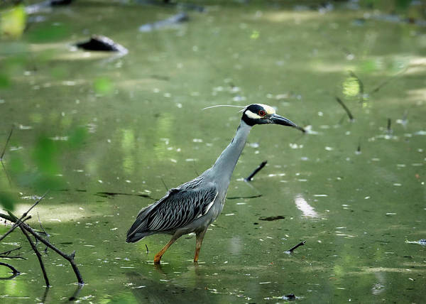 Photograph - Yellow Crowned Night Heron by Nicholas Blackwell