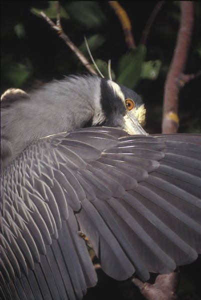 Photograph - Yellow Crowned Night Heron by Ralph Fahringer