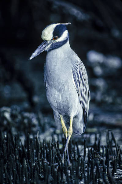 Photograph - Yellow-crowned Night Heron by Robert Potts