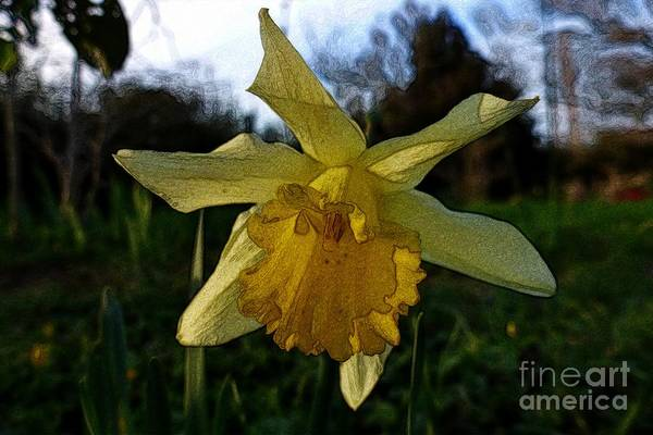Photograph - Yellow Daffodils 5 by Jean Bernard Roussilhe