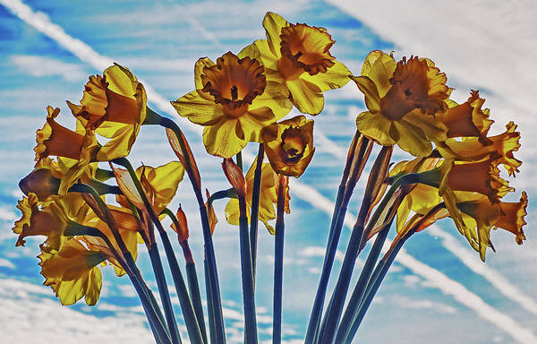 Photograph - Yellow Daffodil's   by Cliff Norton