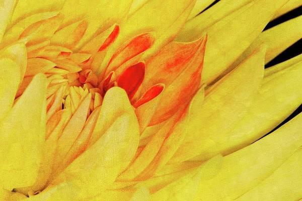 Wall Art - Photograph - Yellow Dahlia by Winnie Chrzanowski
