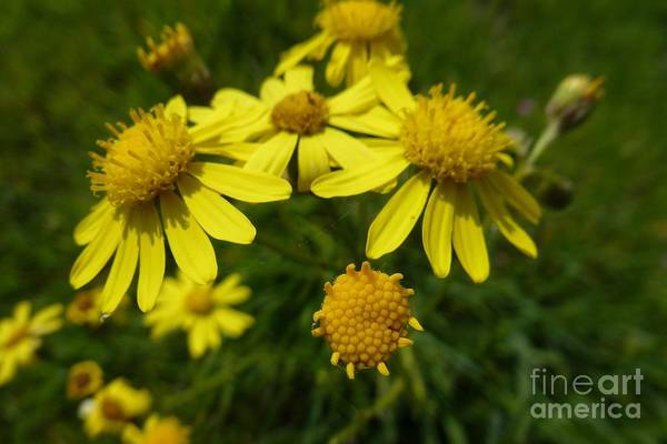 Photograph - Yellow Daisies 2 by Jean Bernard Roussilhe