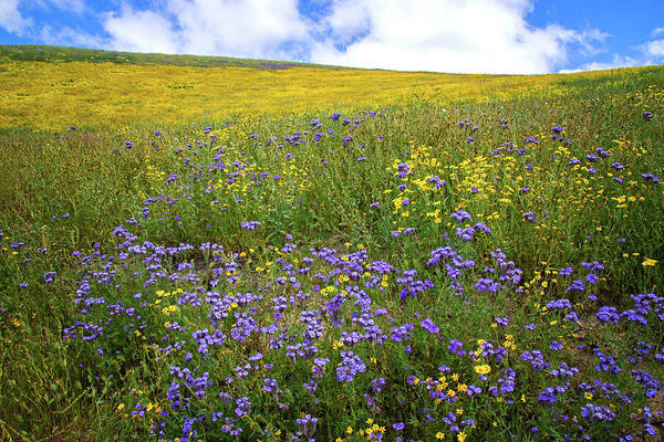 Photograph - Yellow Daisies And Purple Phacelia On The Carrizo Plain - Superbloom 2017 by Lynn Bauer