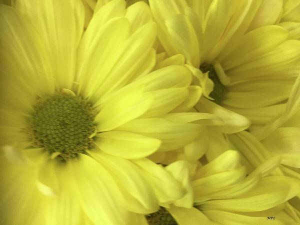 Photograph - Yellow Daisies by Marian Palucci-Lonzetta