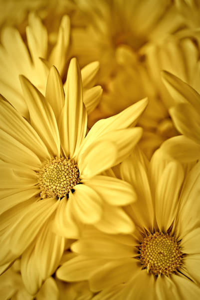 Photograph - Yellow Daisies by  Onyonet  Photo Studios