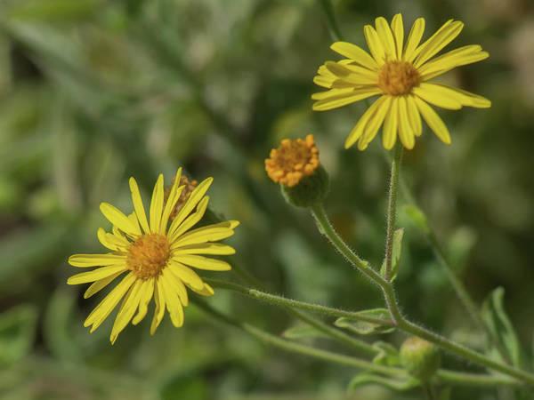 Photograph - Yellow Daisy 7625-101417-1cr by Tam Ryan