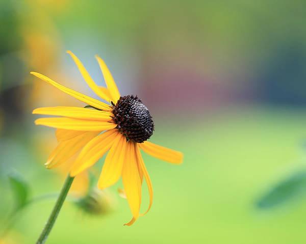 Photograph - Yellow Daisy  by Angela Murdock