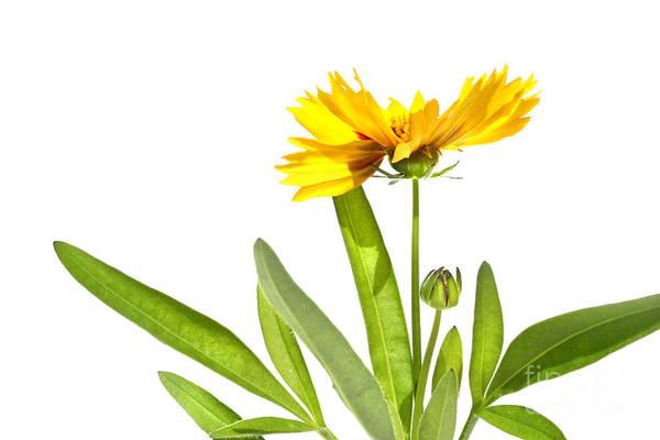 Summertime Digital Art - Yellow Daisy Isolated Against White by Sandra Cunningham