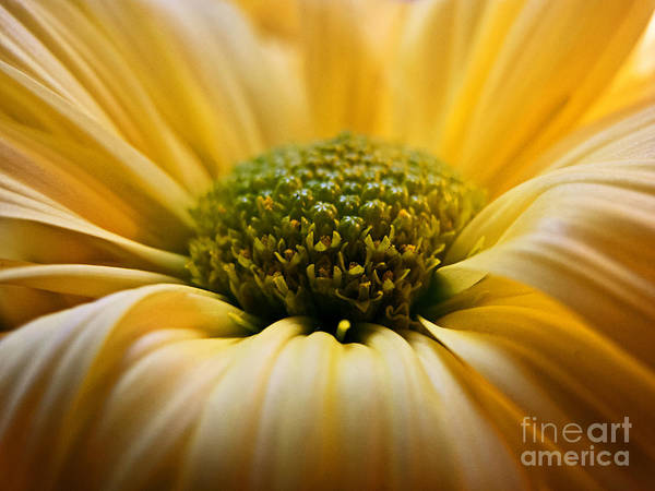 Photograph - Yellow Daisy by Kelly Holm
