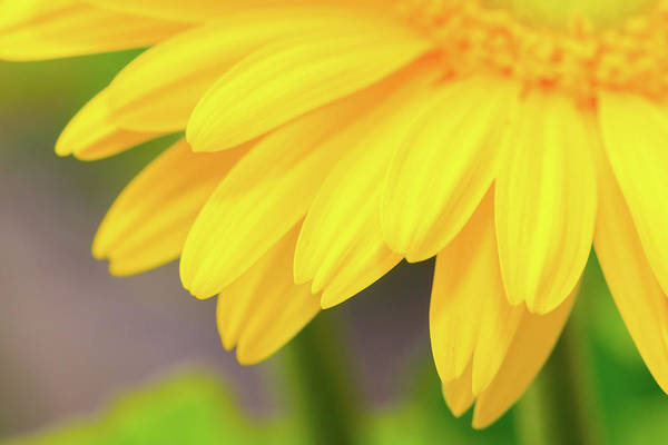 Photograph - Yellow Daisy Petals by SR Green