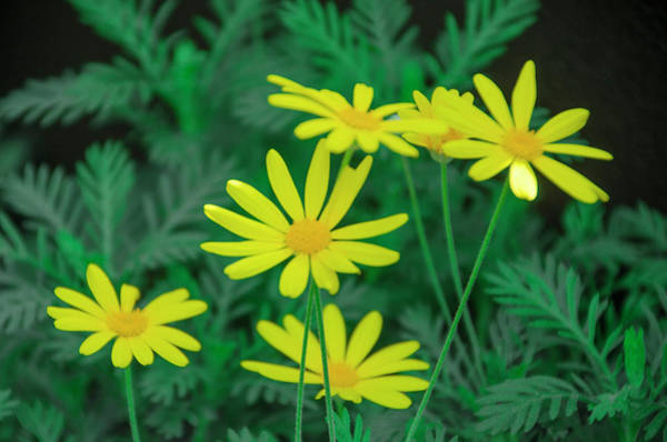 Photograph - Yellow Daisys by Bill Cannon