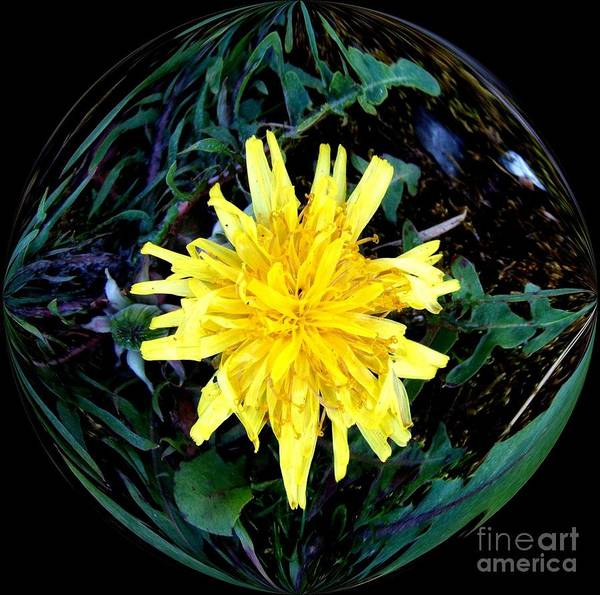 Photograph - Yellow Dandelion In A Glass Bubble by Delores Malcomson