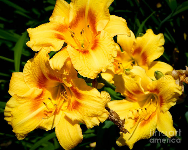 Photograph - Yellow Day Lilies by Kristen Fox