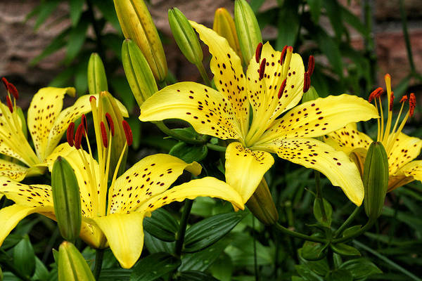 Photograph - Yellow Lilies by William Selander