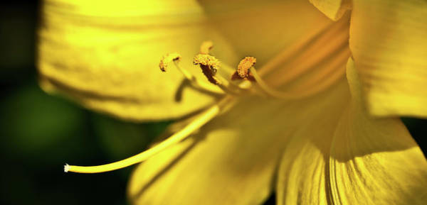 Photograph - Yellow Daylily by Onyonet Photo Studios