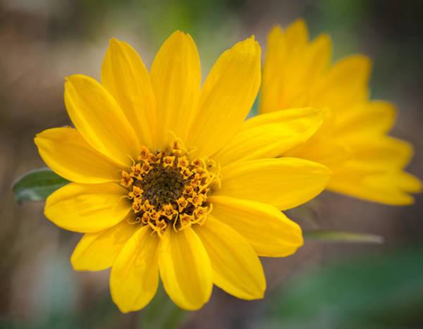 Balsamorhiza Sagittata Photograph - Yellow Delight by Nancy Russell