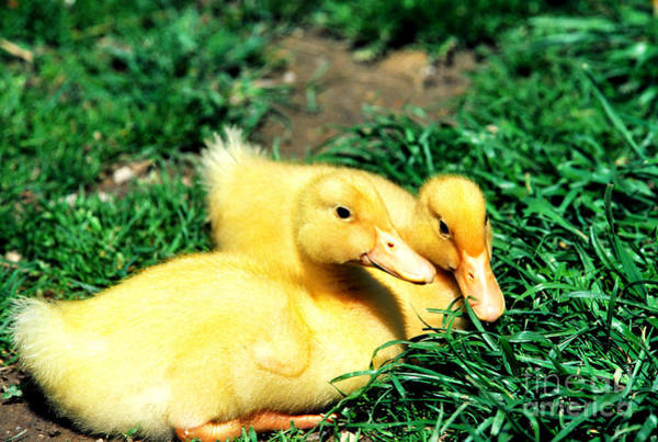 Photograph - Yellow Ducklings In Green Grass by Thomas R Fletcher