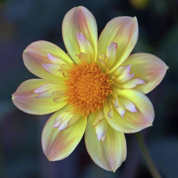 Photograph - Yellow Dwarf Dahlia by Patricia Strand