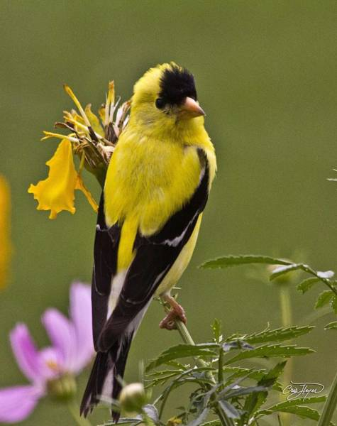 Wall Art - Photograph - Yellow Finch - Color Impact - Artist Cris Hayes by Cris Hayes