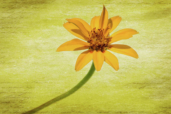 Wall Art - Photograph - Yellow Flower 1 by Kevin O'Hare