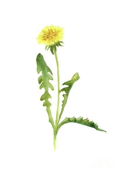 Wall Art - Painting - Yellow Flower Abstract Watercolor Painting, Common Dandelion Art Print by Joanna Szmerdt