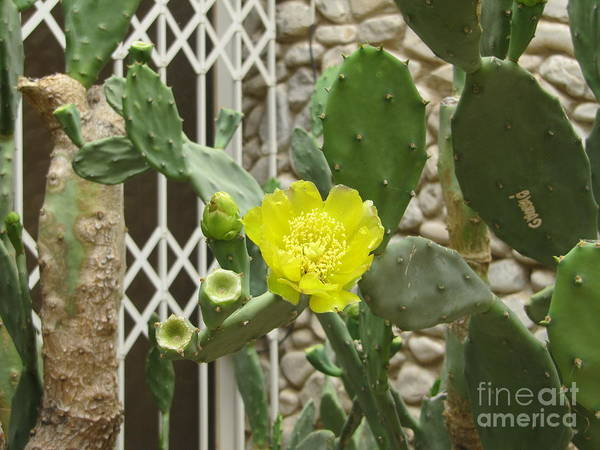 Photograph - Yellow Flower Cactus by Donna L Munro