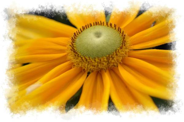 Photograph - Yellow Flower by Donna Bentley